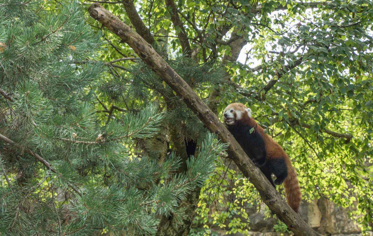 le Petit Panda à l'honneur