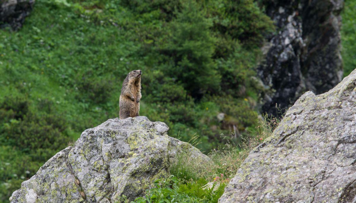 La faune des Montagnes