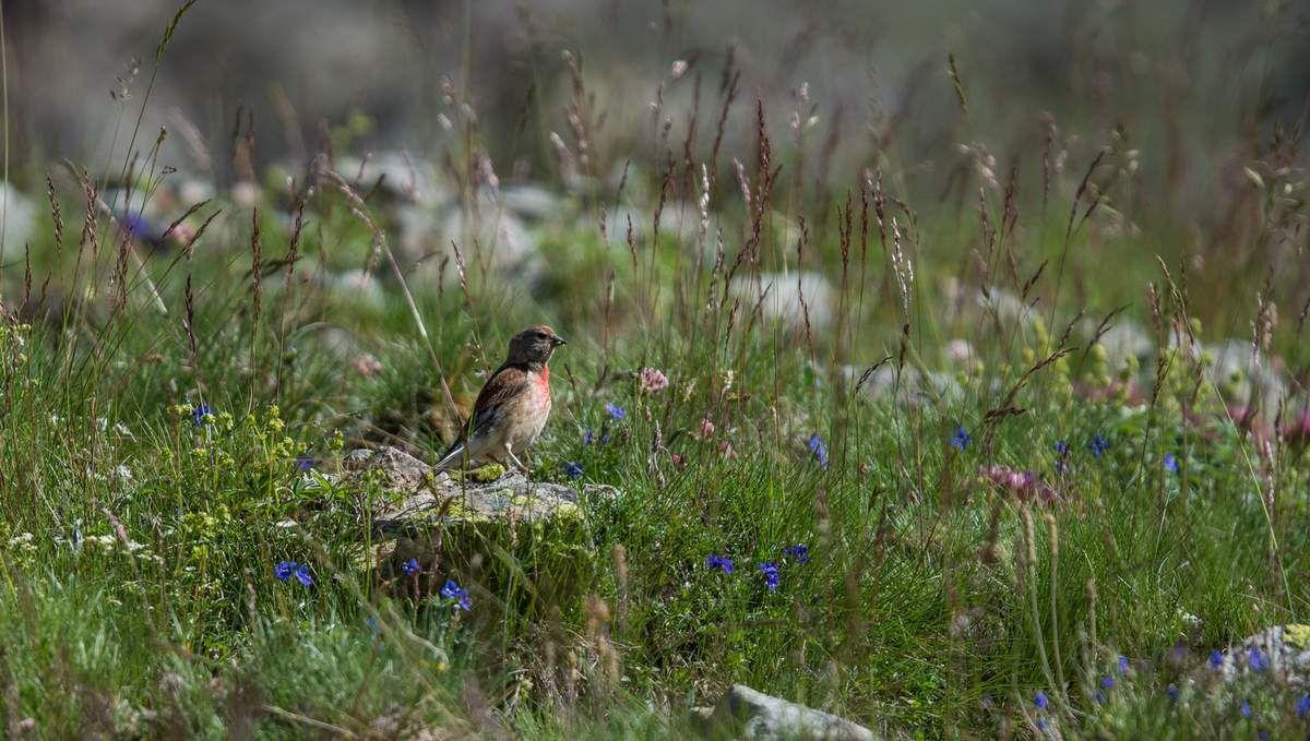 Oiseaux dans les Alpes
