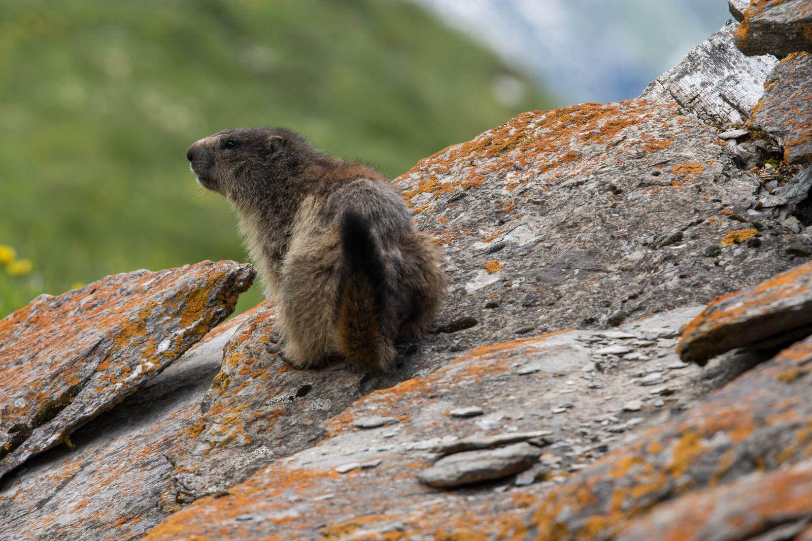 Marmottes en Maurienne - Bessans