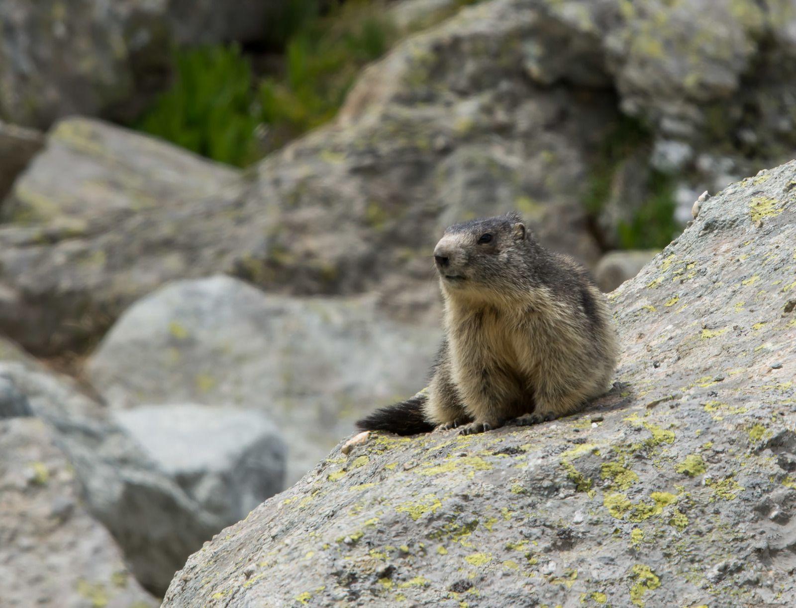 Marmotte en Tarentaise