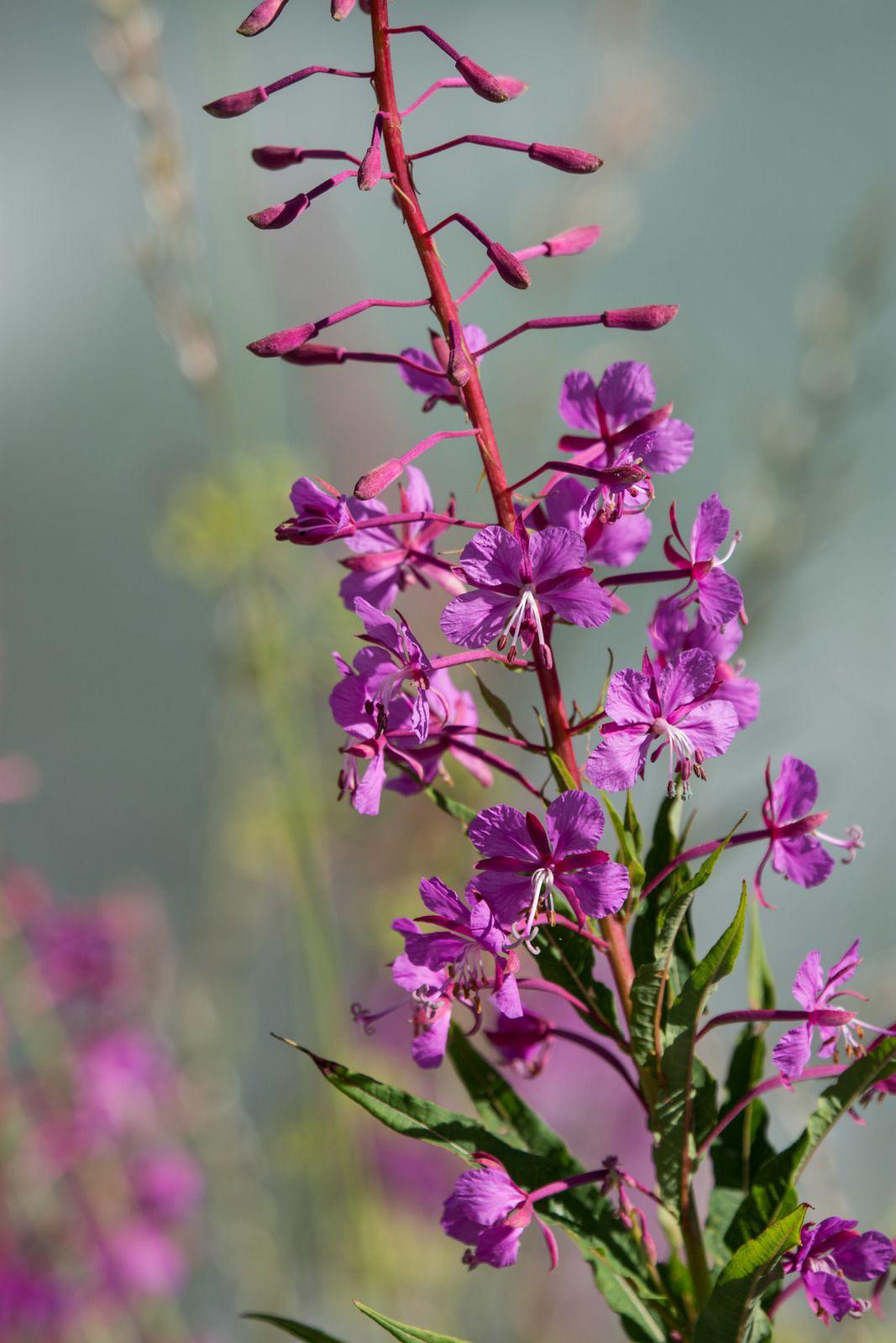 Fleurs en Tarentaise
