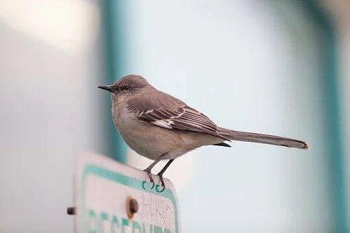 oiseau moqueur, mockingbird