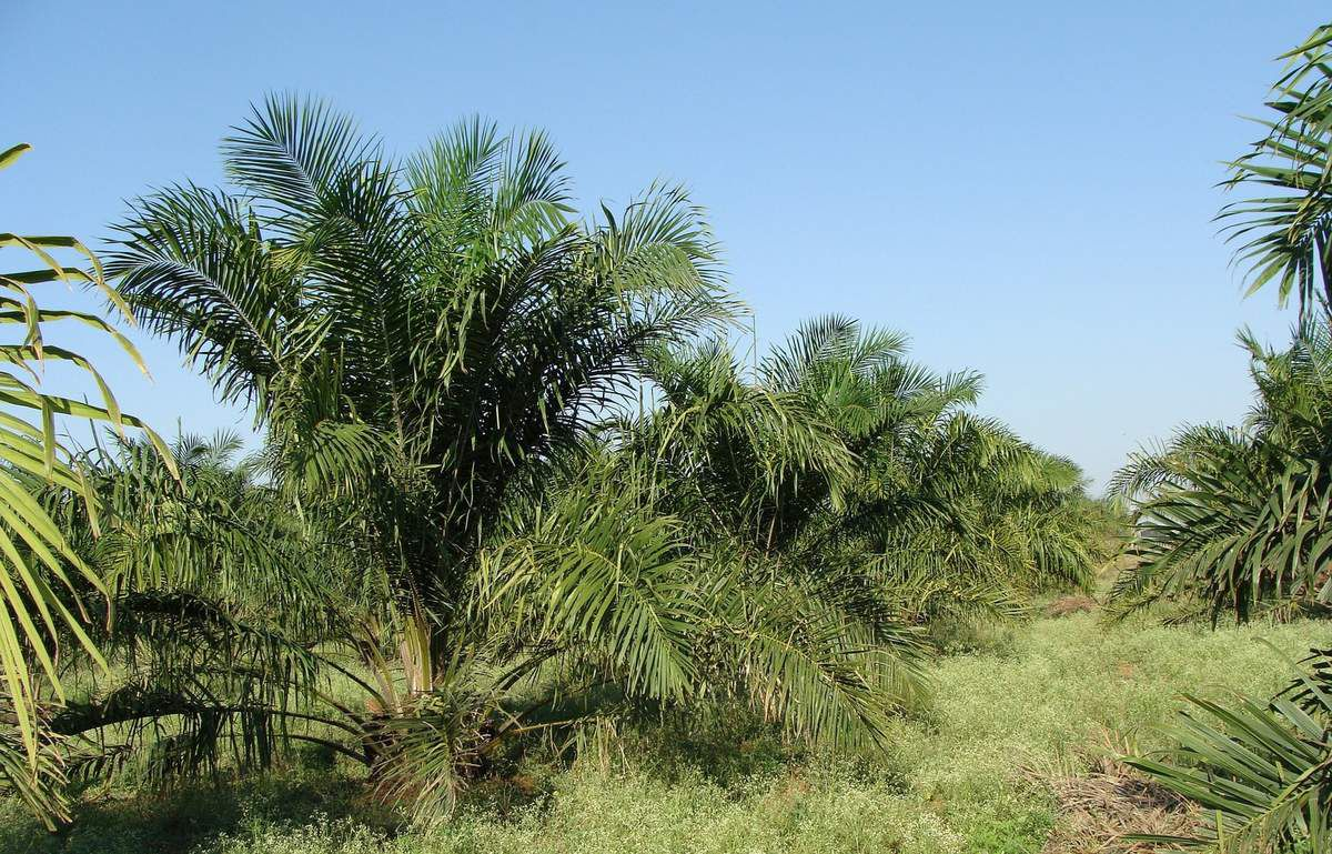 Palm Oil and Acne