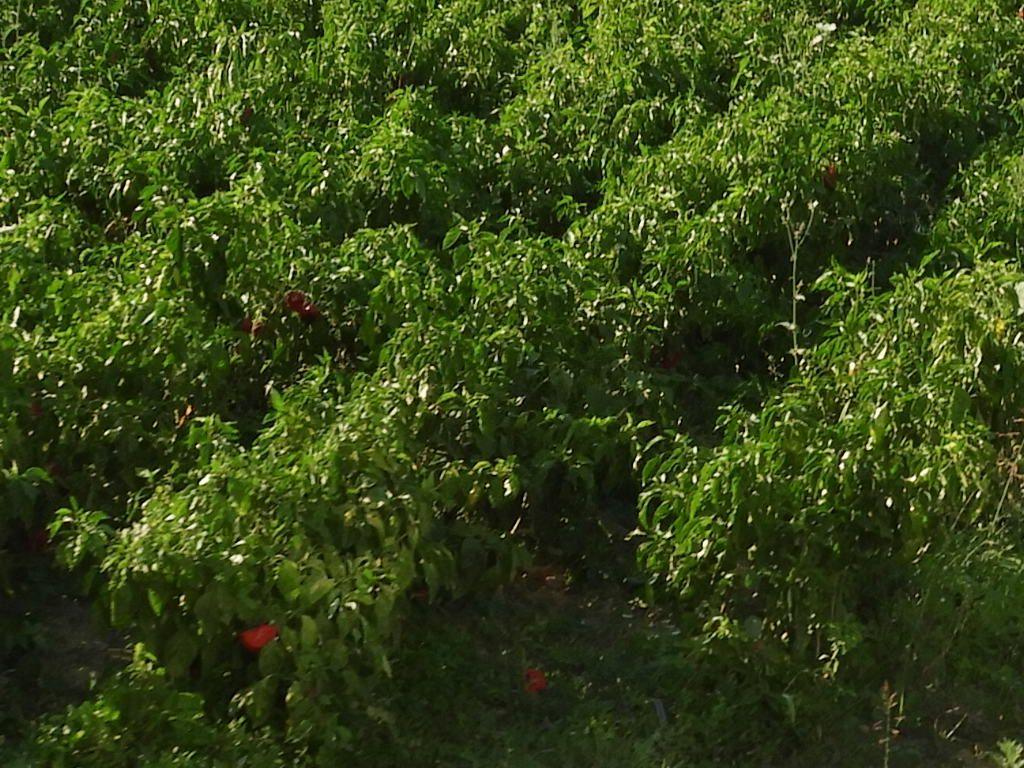 le poivron est un légume très présent dans la cuisine serbe