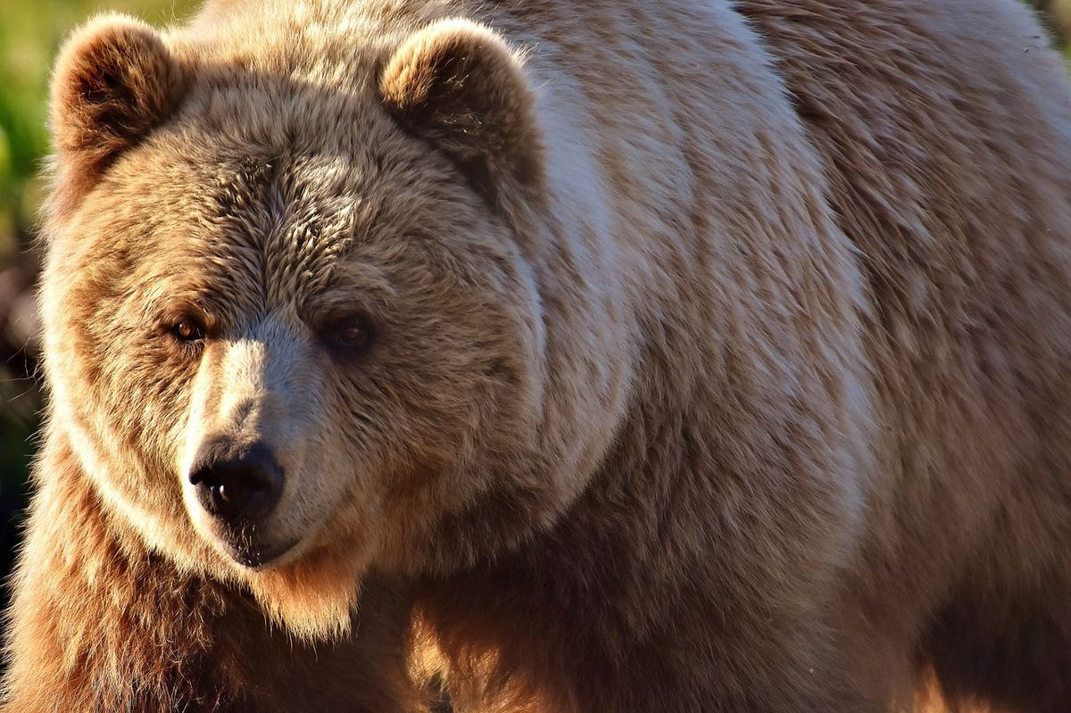 Melles : quand deux randonneurs croisent le chemin de maman ourse et ses deux petits...