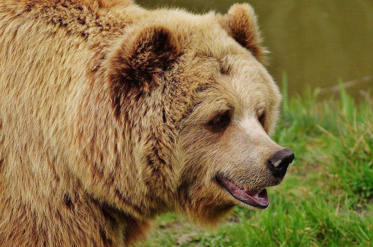 Pyrénées : où vont être lâchées les deux ourses slovènes cet automne ?