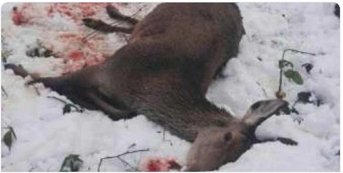 Près de l'école, les chasseurs achèvent une biche au couteau