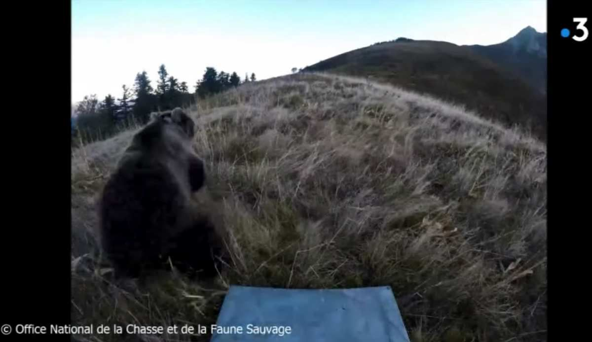 Pyrénées : polémique après la localisation par l'Etat de l'ourse Sorita et ses deux petits