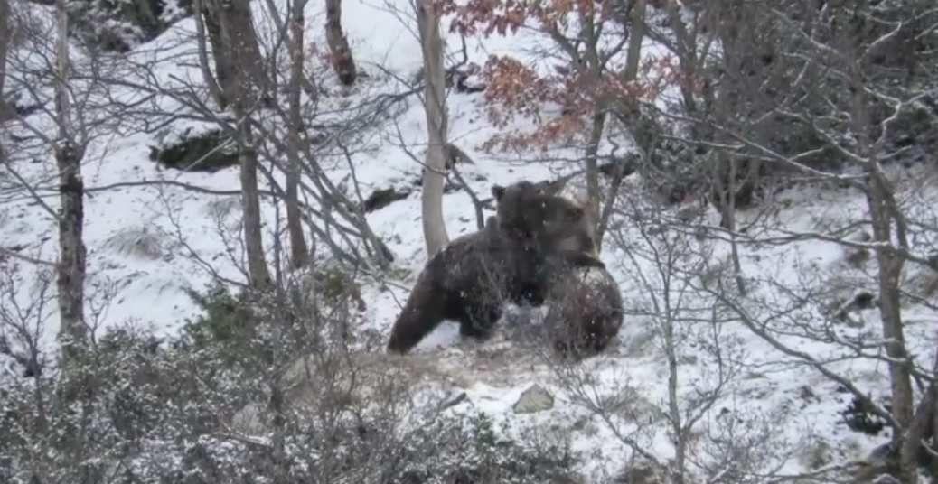 Pyrénées : quand deux jeunes ours jouent dans la neige (vidéo)