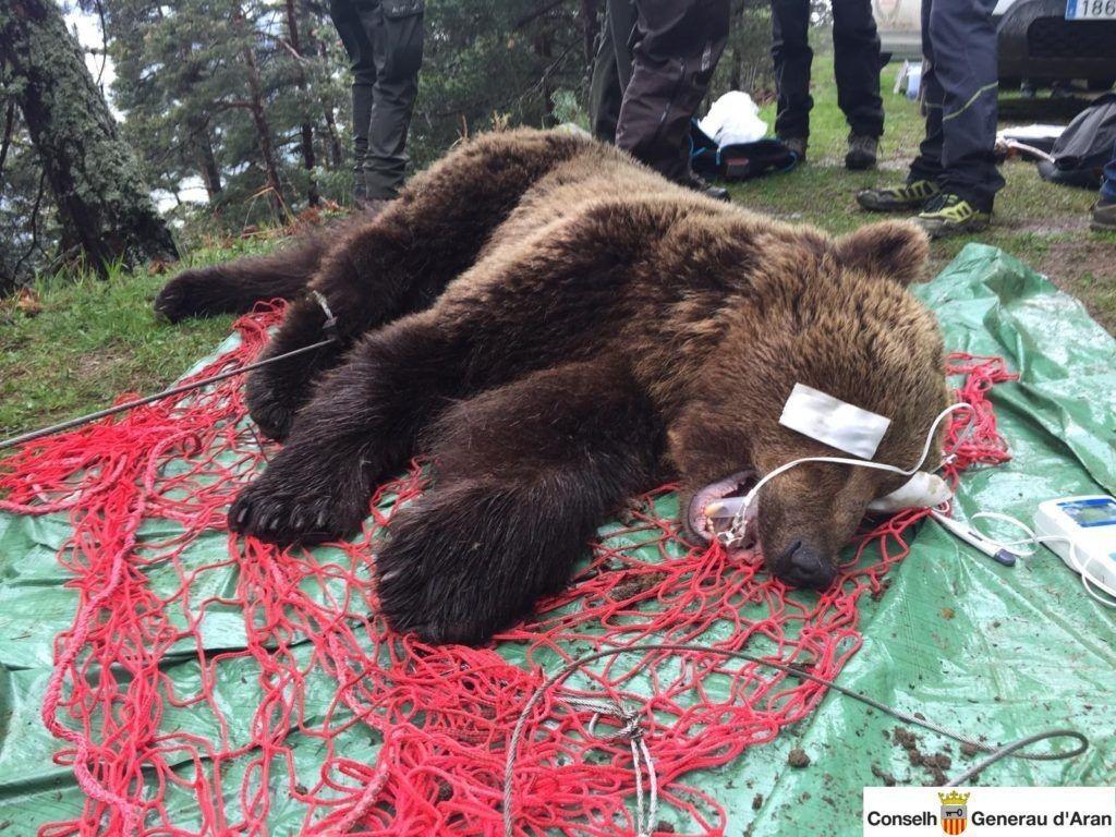 (Photo illustration : l'ours Cachou, lors de sa capture en mai 2019 © Conselh Generau d'Aran).