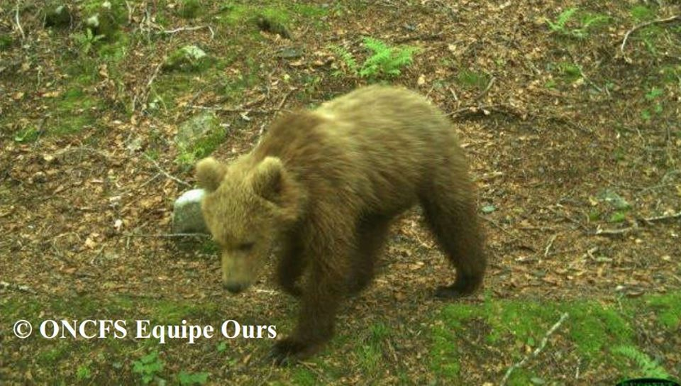 (L'ours Cachou. Photo © ONCFS / OFB)