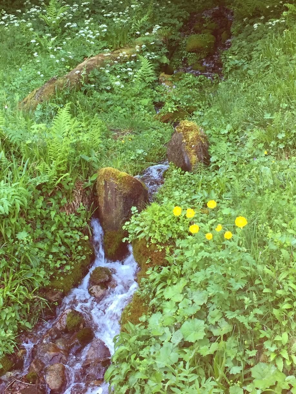 Des pavot du pays de Galles (meconopsis) près du petit torrent..