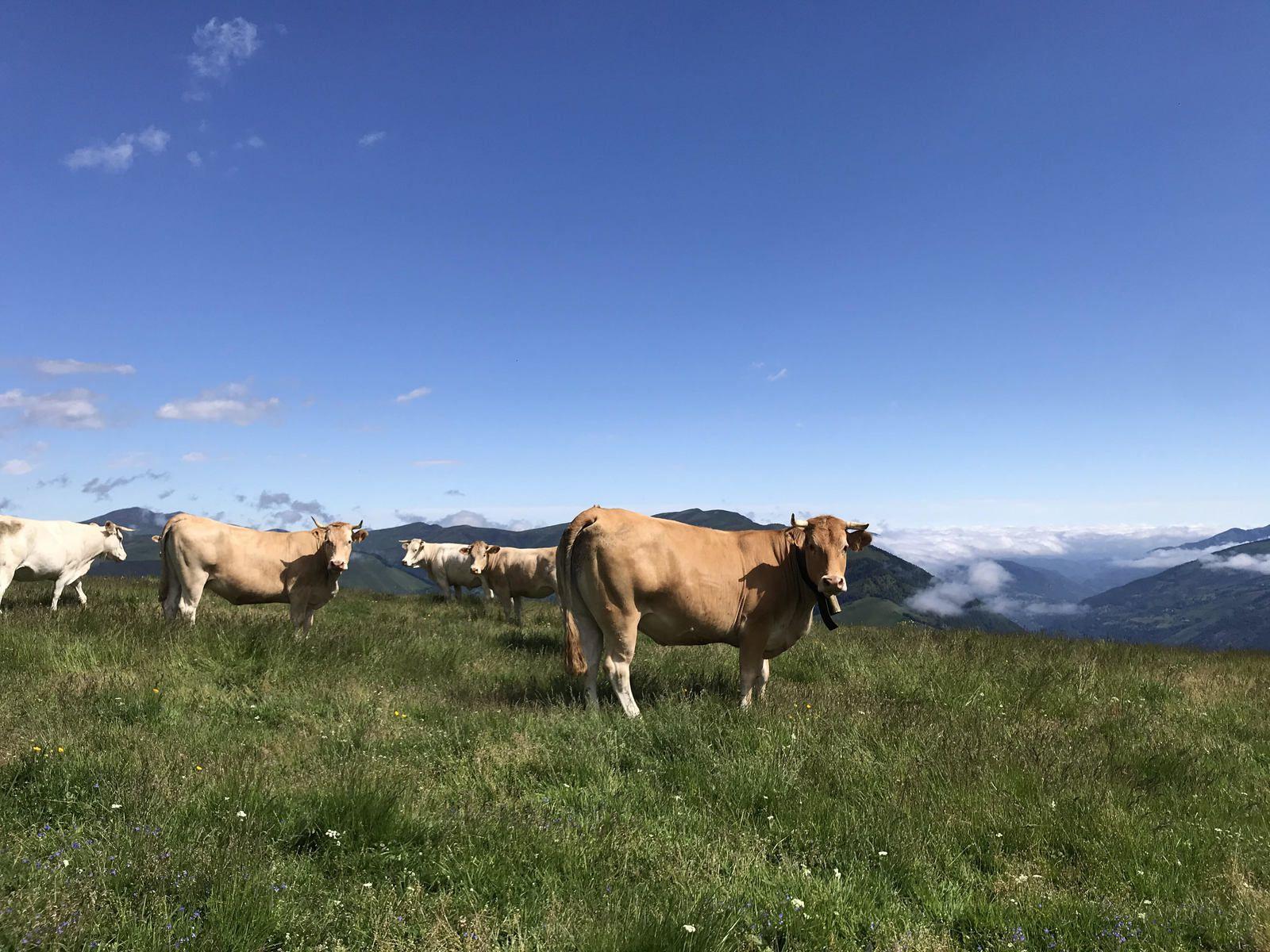 Superbagnères : arrivée des vaches dans les estives...