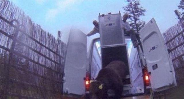 Hautes-Pyrénées : effarouchement par tirs non létaux de l'ours Goiat autorisé par la préfecture