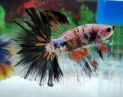 Betta Fish Losing Colors Betta Fish Accessories Fresh Water Fish Care Guide