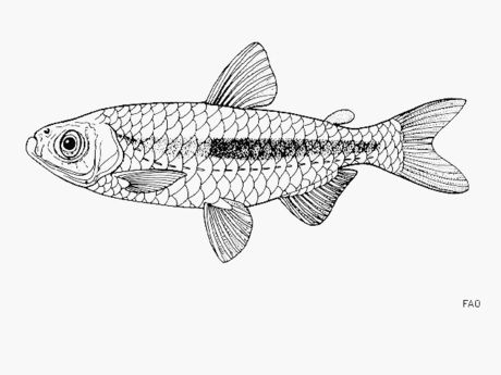 Fig.4 Microlestes stormsi, a small fish of Lake Tanganyika collected by and named for Émile Storms as he colonized Nature as local Africans knew it. Image from internet in public domain.