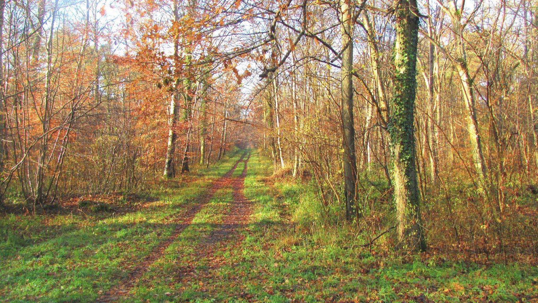 le carrefour du Putois en forêt de Compiègne
