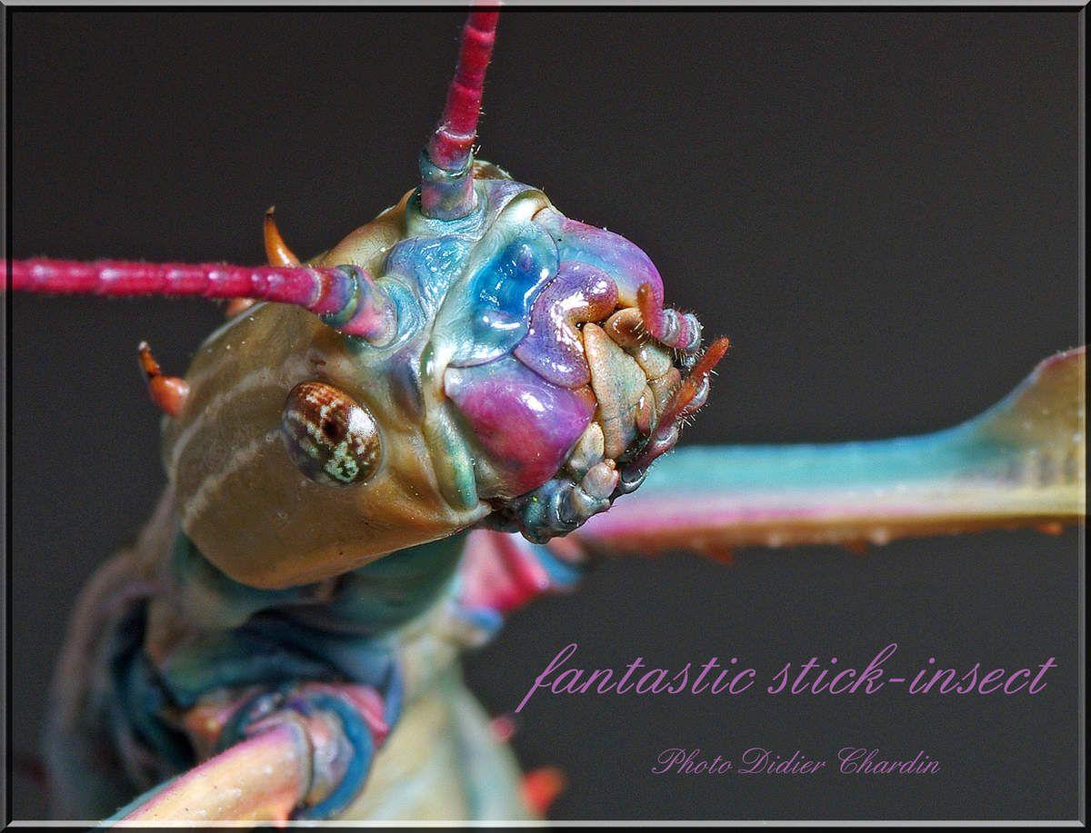 "Portrait de l'ACHRIOPTERA FALLAX de Madagascar ou "" le phasme bleu de Madagascar """