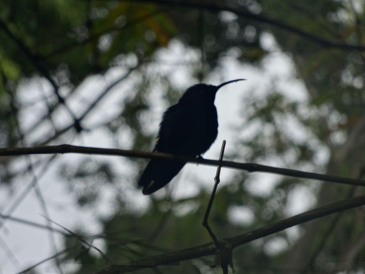 Elle est ratée ma photo de colibri, mais je l'aime bien quand même.