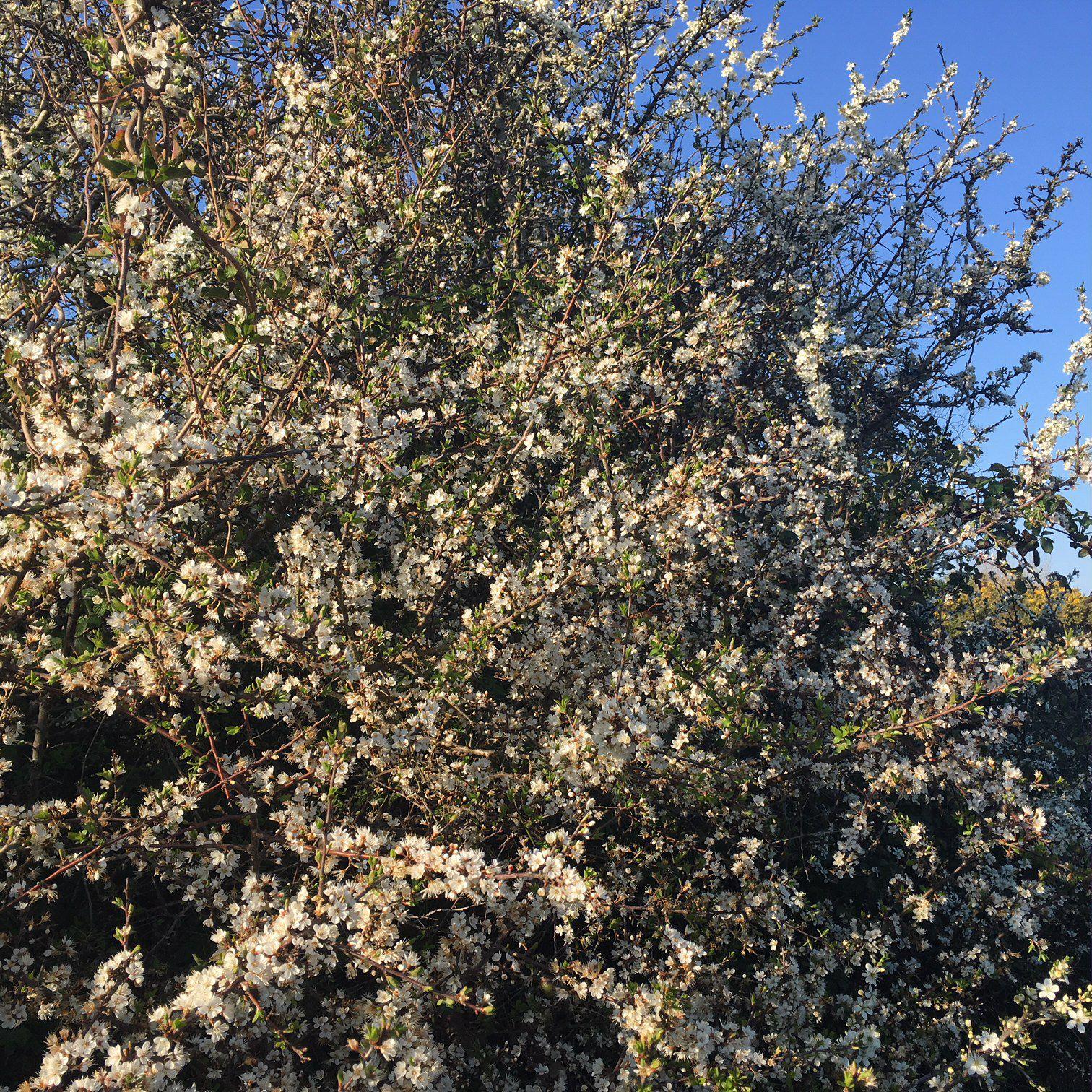 ... d'épine noire (des prunelliers)...