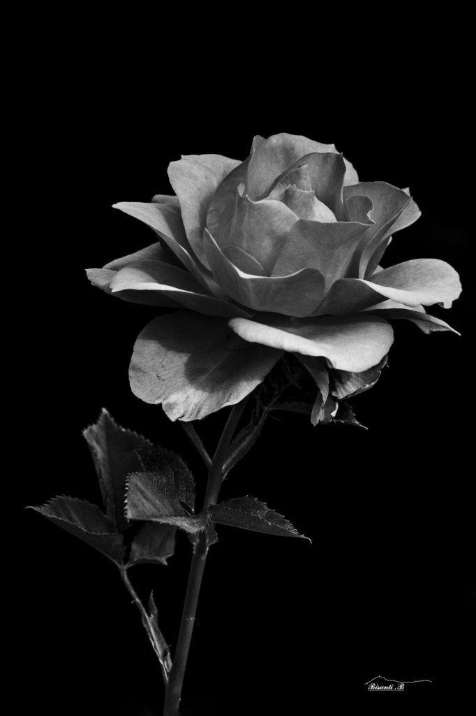Rose _63