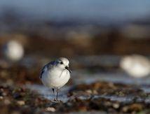 Bécasseaux sanderling sur l'estran de Tréompan ...(Ploudalmézeau -Nord finistère)