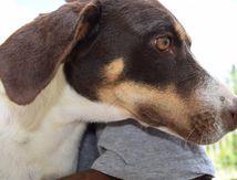 BOUNTY - croisée épagneul breton - née le 26 novembre 2014 - à adopter