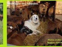 ANNONCEs: chiens, mouton, chèvre, canards, pintade et poules...