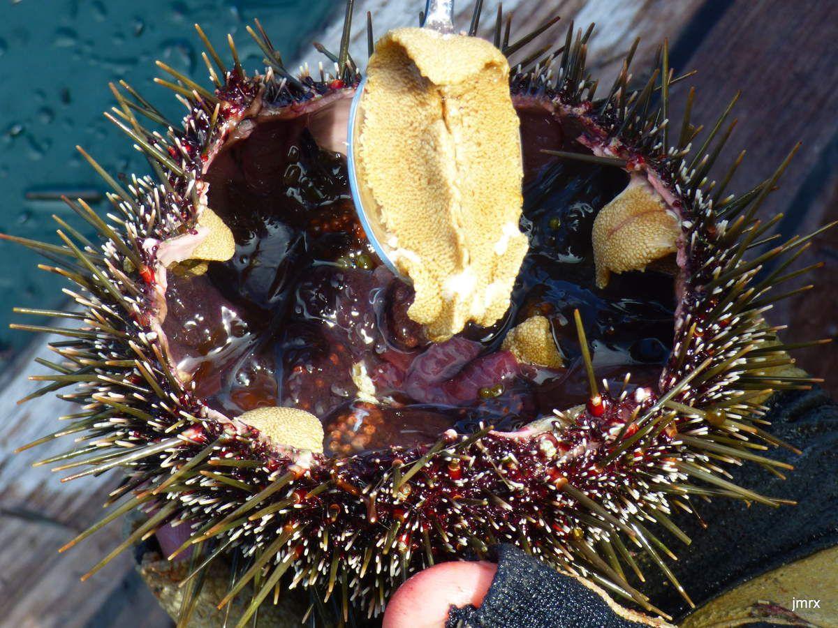 Stewart Island, de toute beauté. La nature à l'état originel. L'abondance des fruits de mer: oursins, St Jacques, Huîtres plates de Bluff, praires ...
