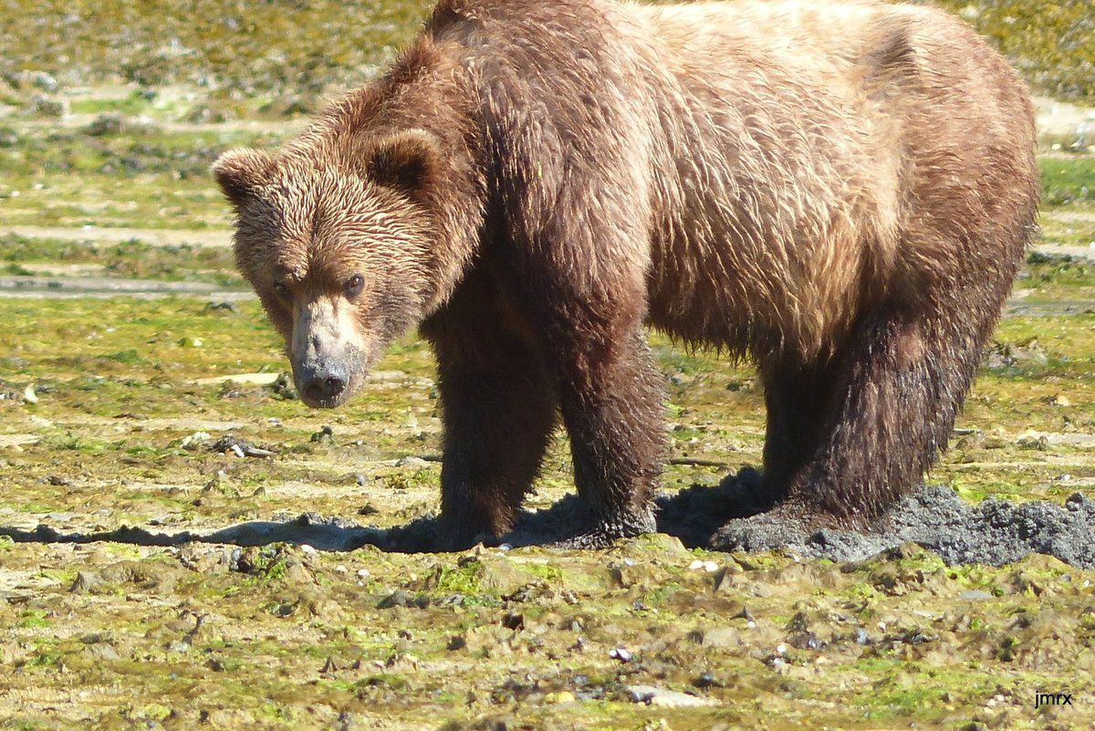 L'attraction locale: les ours!