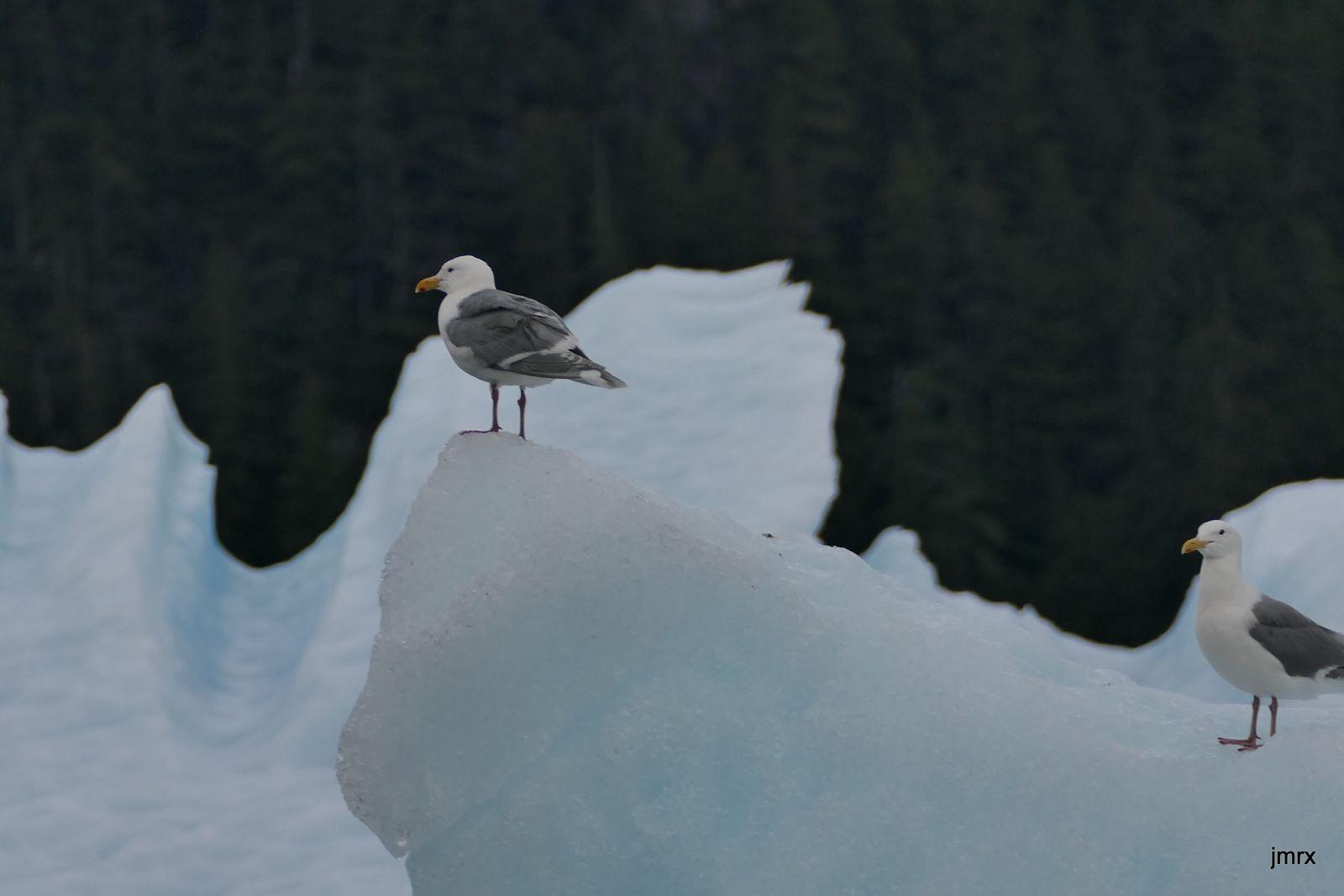 LeConte Glacier (orthographe américaine!). Une merveille de glacier (tide water glacier)