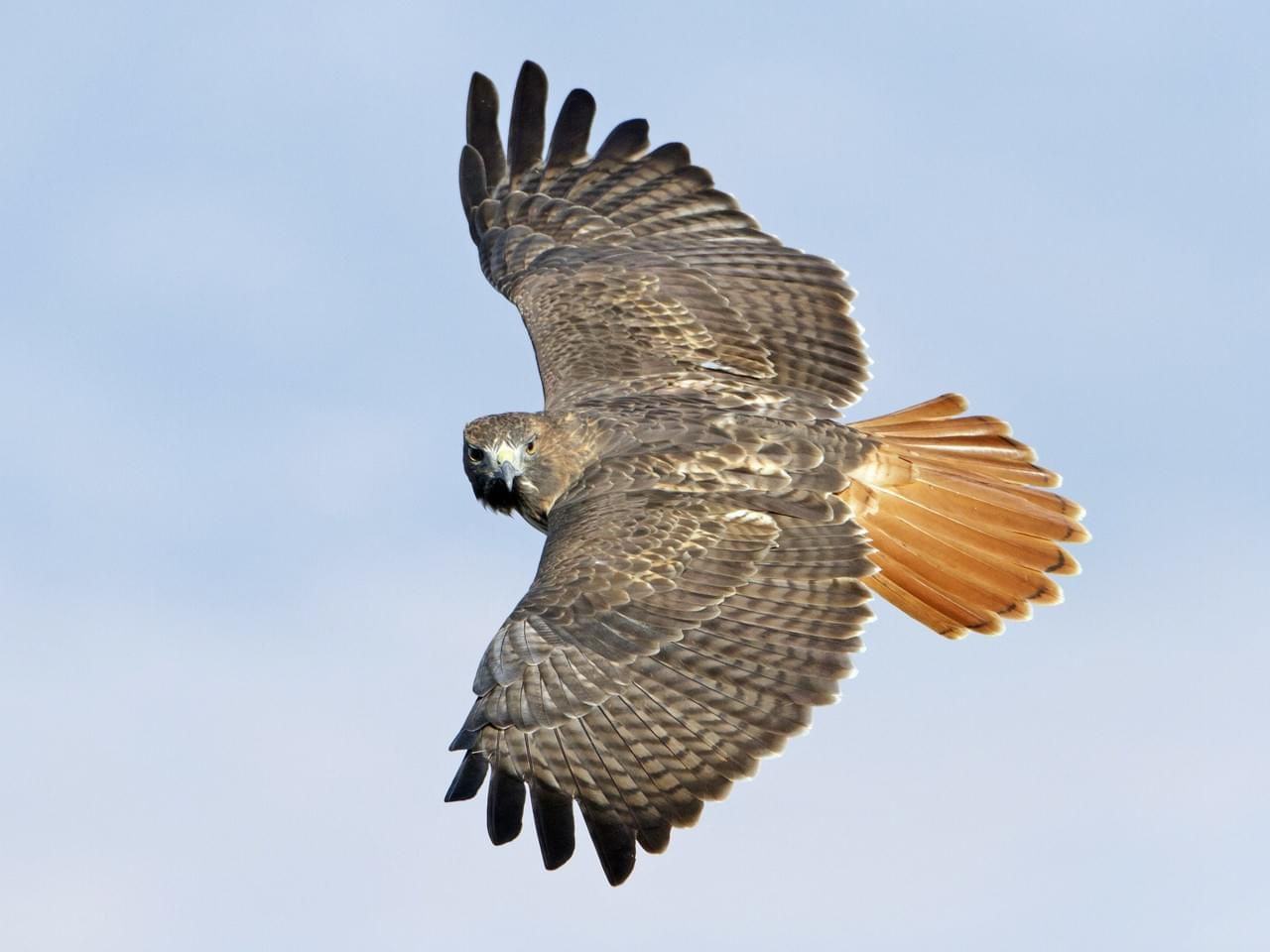 Red-tailed hawk (allaboutbirds.org)