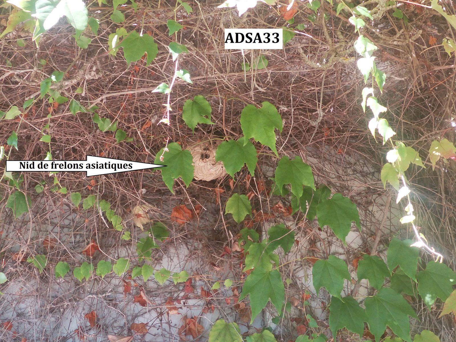 ADSA33destruction rapide de vos nids de frelons contact 06 78 18 32 34