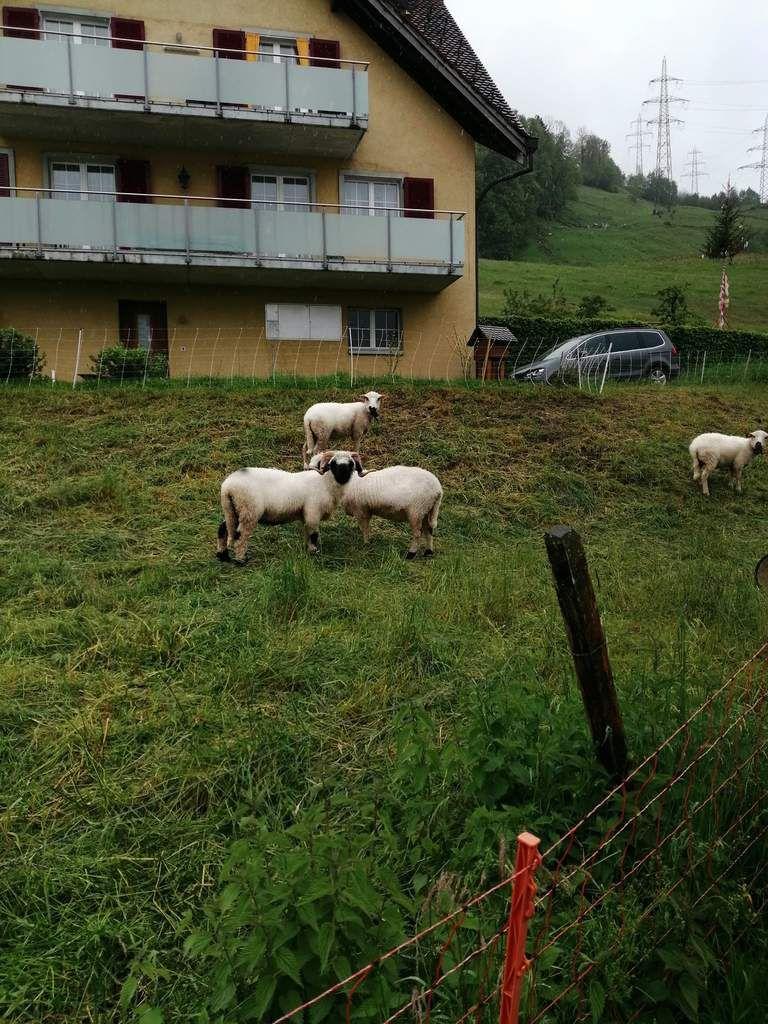 De beaux moutons