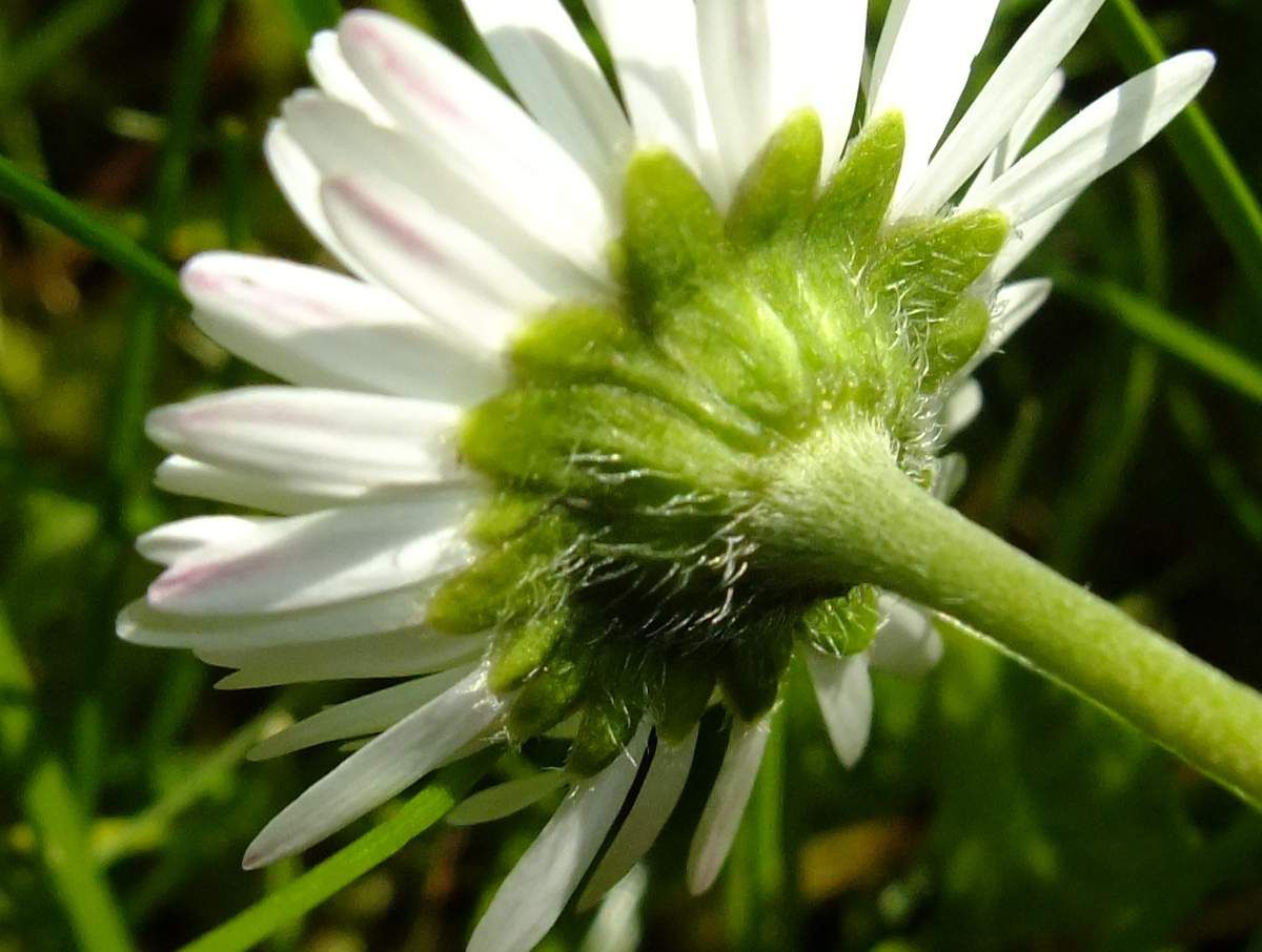 Pour de vrai: pédoncule, réceptacle recouvert de l'involucre et fleurs insérées sur le réceptacle.