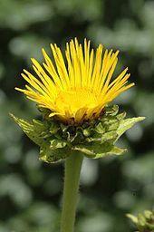 Depuis que je vous ai présenté les asteraceae, vous savez ce qu'est une inflorescence et un capitule radié...