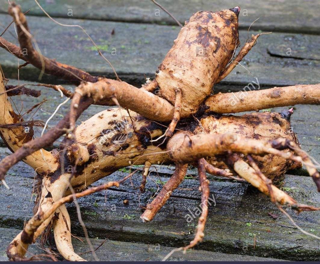 On utilise le rhizome et les racines latérales sur des plantes de 2 à 3 ans. Elles ont une odeur camphrée à l'état frais et d'iris à l'état sec.