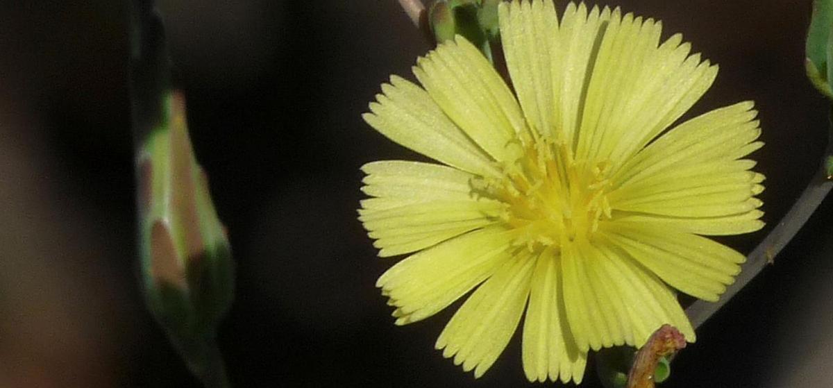 Fleur à corolle ligulée, zygomorphe (un seul plan de coupe), pentamère (5 pétales), gamopétales (pétales soudées); fleurs jaunes, comprenant un pistil à deux stigmates et 5 étamines soudées en manchon autour du style.