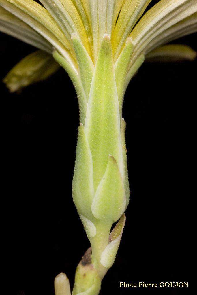 Inflorescence en panicule ramifiée de capitules à involucre à bractées glabres (sans poils), imbriquées sur plusieurs rangs.