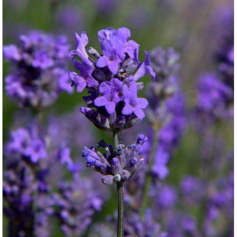 Les fleurs sont à corolle zygomorphe (un seul plan de coupe), pentamère ( 5 pétales), gamopétales (pétales soudées), bilabiée (2 lèvres), bleues, formant un faux verticille (entoure la tige) à l'aisselle de bractées cordées. J'adore la botanique!