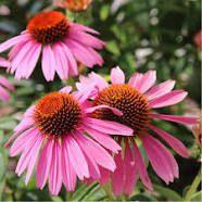 Échinacée pourpre (Echinacea purpurea) famille des Asteraceae. Fleurs et racines.