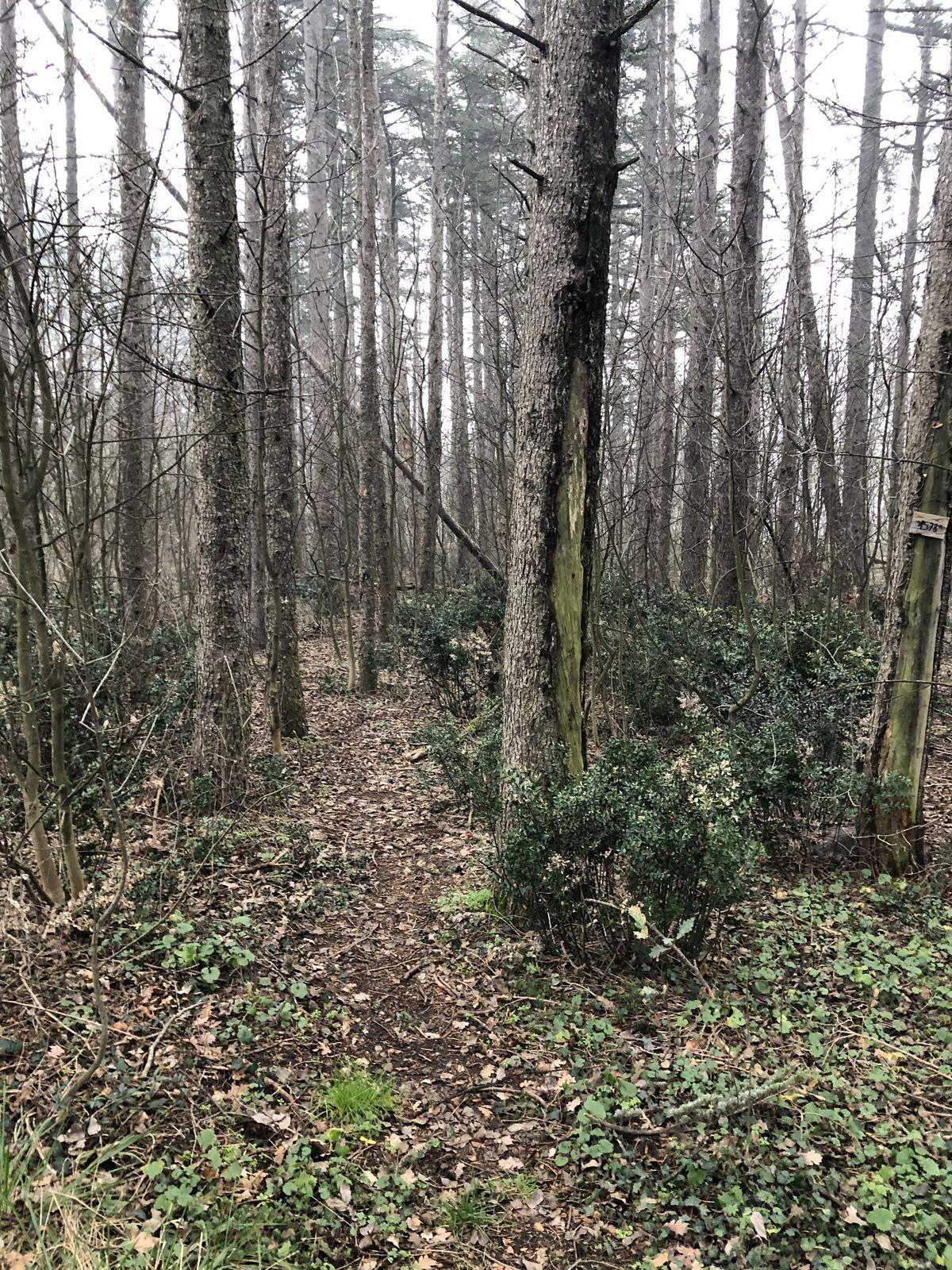 Un beau sentier parmi les feuillus où l'on trouve de nombreux plants de fragon petit houx (Ruscus aculeatus), une belle plante médicinale pour le cardio-vasculaire.