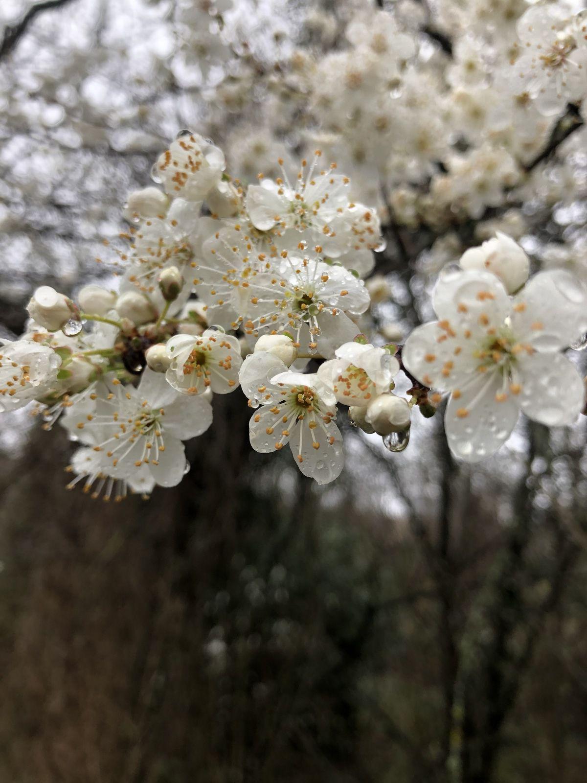 Inflorescence de Prunus spinosa famille des Rosaceae.