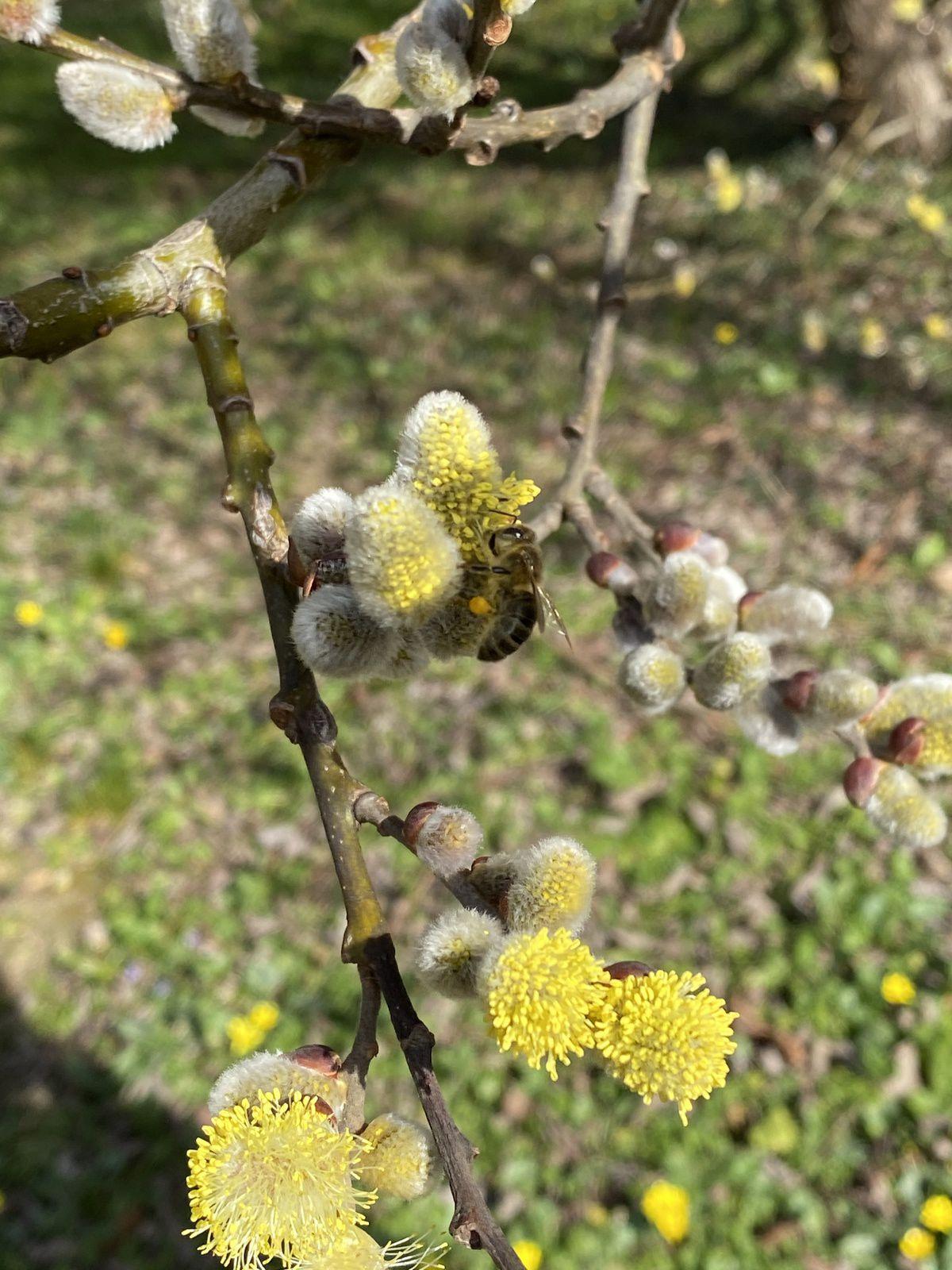 Les abeilles en sont friandes. Regardez cette belle pelote de pollen sur la patte arrière.