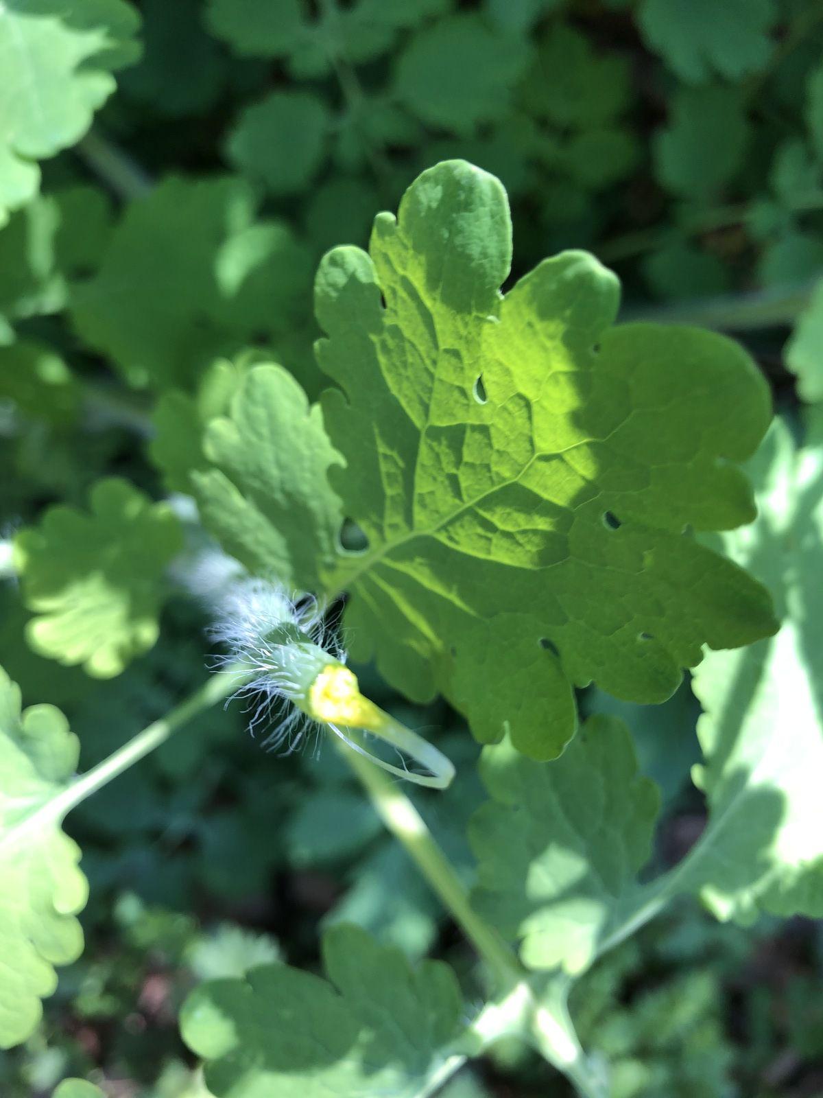Présence dans toute la plante de latex jaune orangé.