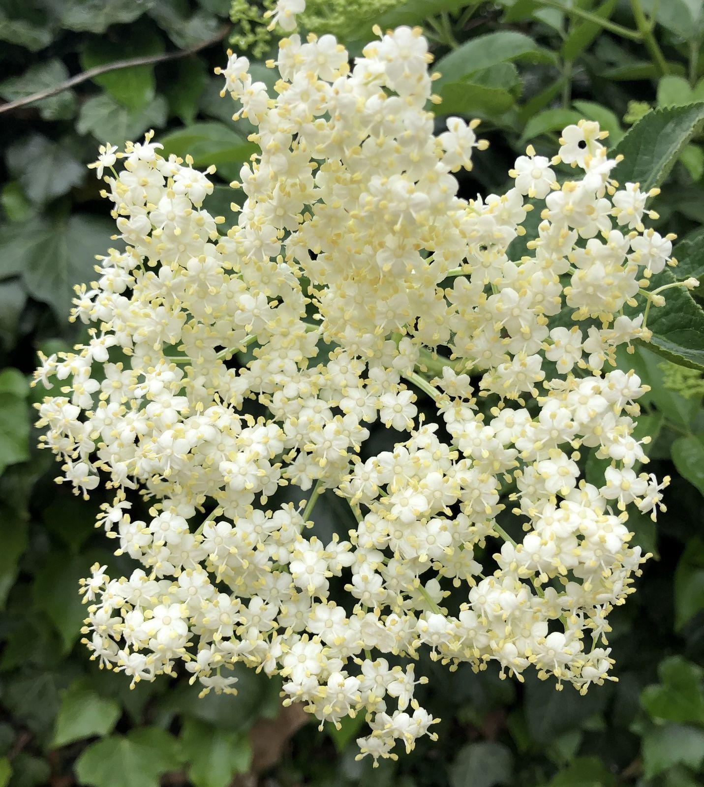 Ses fleurs sont blanches au parfum agréable et...