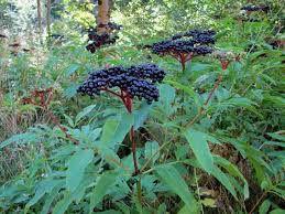 À ne pas confondre avec Sambucus ebulus, le sureau hièble.  Ce n'est pas un ligneux mais une herbacée. Ses tiges droites, rigides, robustes peuvent atteindre une hauteur d'homme en quelques mois, puis se dessèchent et meurent à l'automne. Les feuilles, les fleurs et les fruits sont proches du sureau noir.