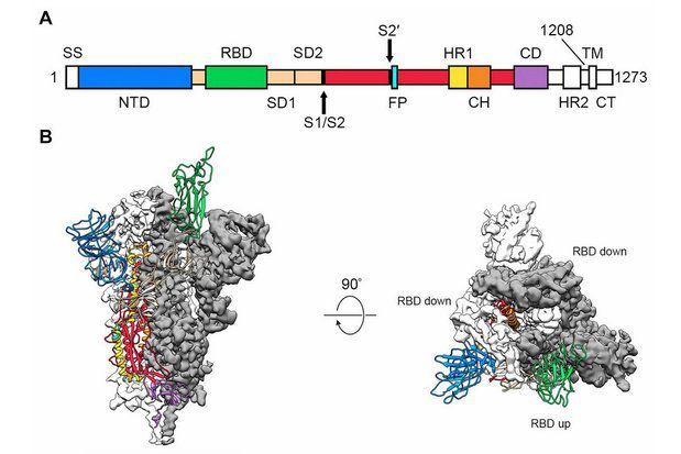 Figure 2. Première carte 3D des protéines de pointe du COVID-19  (illustration : J. McLellan/Univ. of Texas at Austin).