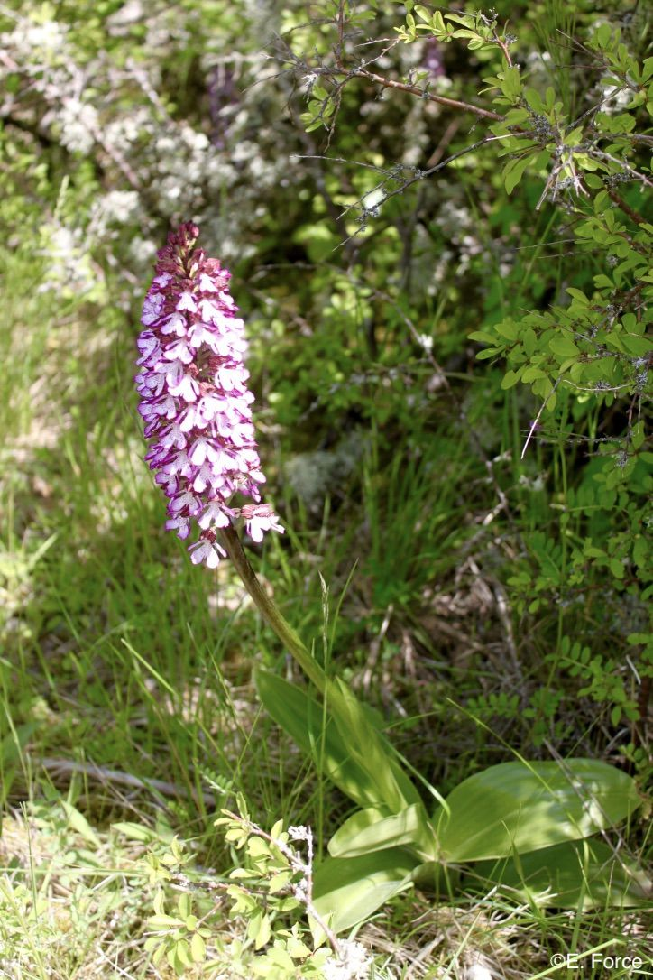Orchis purpurea Huds. (crédit photo : E. Force).